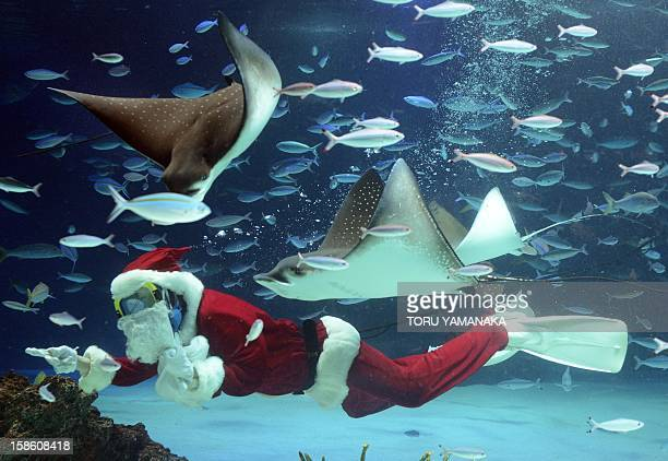 A diver wearing a Santa Claus costume swims with fish at Sunshrie Aquarium in Tokyo on December 21 2012 The aquarium is holding the Christmas show...