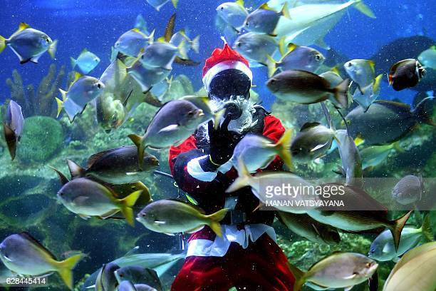A diver wearing a Santa Claus outfit swims inside a fishtank at the Aquaria KLCC in Kuala Lumpur on December 8 2016 The scubadiving Santa Claus is...