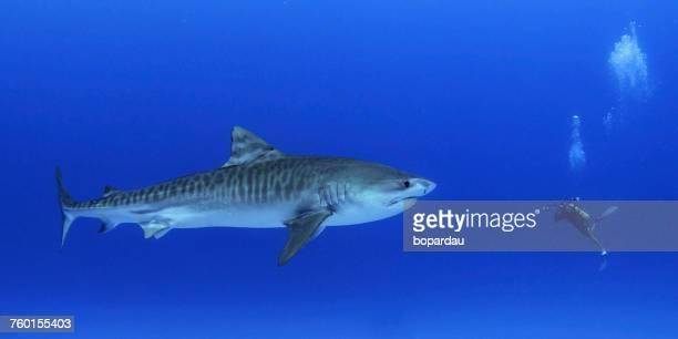 diver with a juvenile tiger shark, honokohau harbor, hawaii, america, usa - tiger shark stock pictures, royalty-free photos & images