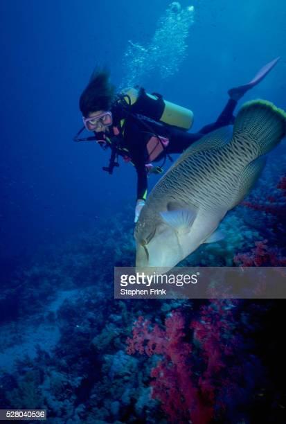 diver with napoleon wrasse - メガネモチノウオ ストックフォトと画像