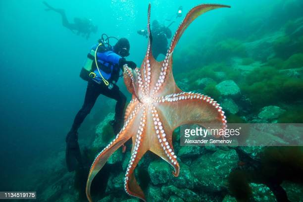 divers and giant pacific octopus (enteroctopus dofleini), sea of japan - invertebrate stock pictures, royalty-free photos & images