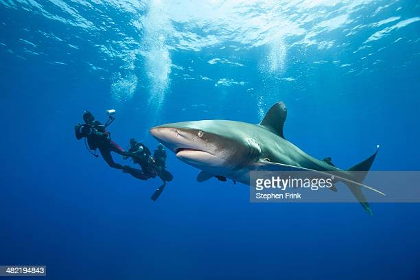 Divers and Oceanic whitetip.