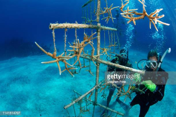 divers clean algae off of coral fragments in a coral nursery. - ハードコーラル ストックフォトと画像