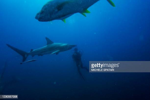 Divers from the Blue Ocean Dive Resort swims with black-tip sharks and other fishes during a baited shark dive in Umkomaas near Durban, South Africa,...