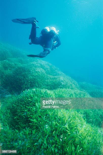 Divers of the Oceanographic Center Follow Evolution of Caulerpa Taxifolia