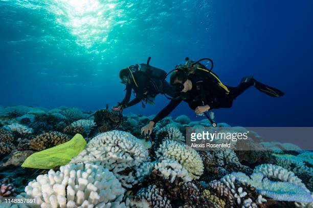 Divers search the coral reefs of the Society Islands in French Polynesia. On May 9, 2019 in Moorea, French Polynesia. Major bleaching is currently...