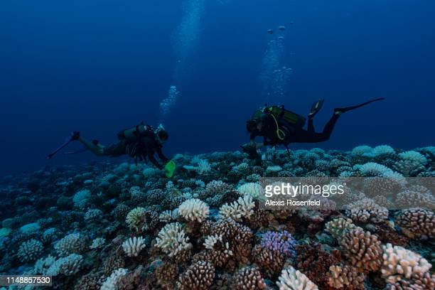 Divers searches the coral reefs of the Society Islands in French Polynesia. On May 9, 2019 in Moorea, French Polynesia. Major bleaching is currently...