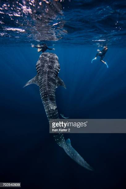 divers swimming with whale shark, underwater view, cancun, mexico - whale shark stock pictures, royalty-free photos & images