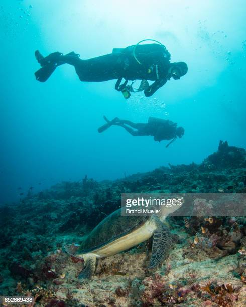 divers with turtle - mabul island stock photos and pictures