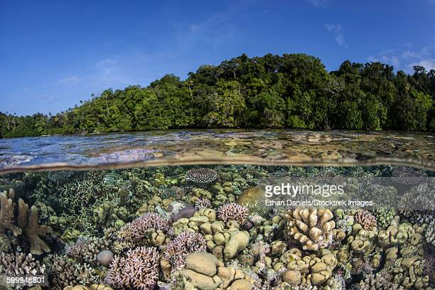 a diverse coral reef grows in shallow water in the solomon islands. - guadalcanal island stock pictures, royalty-free photos & images