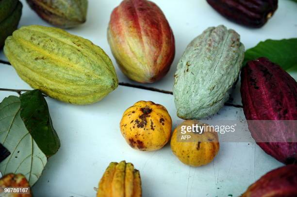 Diverse sorts of cacao beans on display at the greenhouse of the Tropical Agriculture Research and Education Center in Turrialba about 40 km...