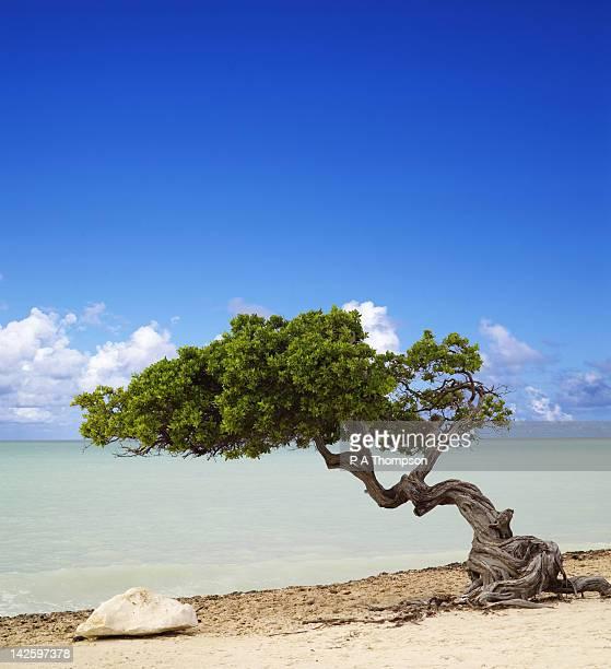 Divi divi tree stock photos and pictures getty images - Divi beach aruba ...