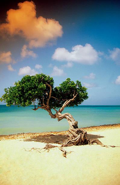 Divi Divi tree on beach of Caribbean Sea in Aruba, West Indies