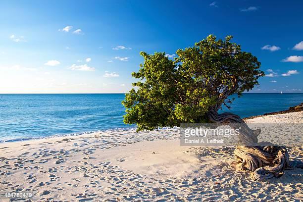 Divi Divi Tree on Caribbean Beach