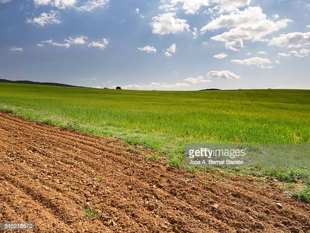 Dividing line between two fields, one sowed with green and different wheat of brown ploughed color