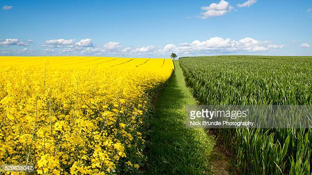 dividing lines - canola oil stock pictures, royalty-free photos & images