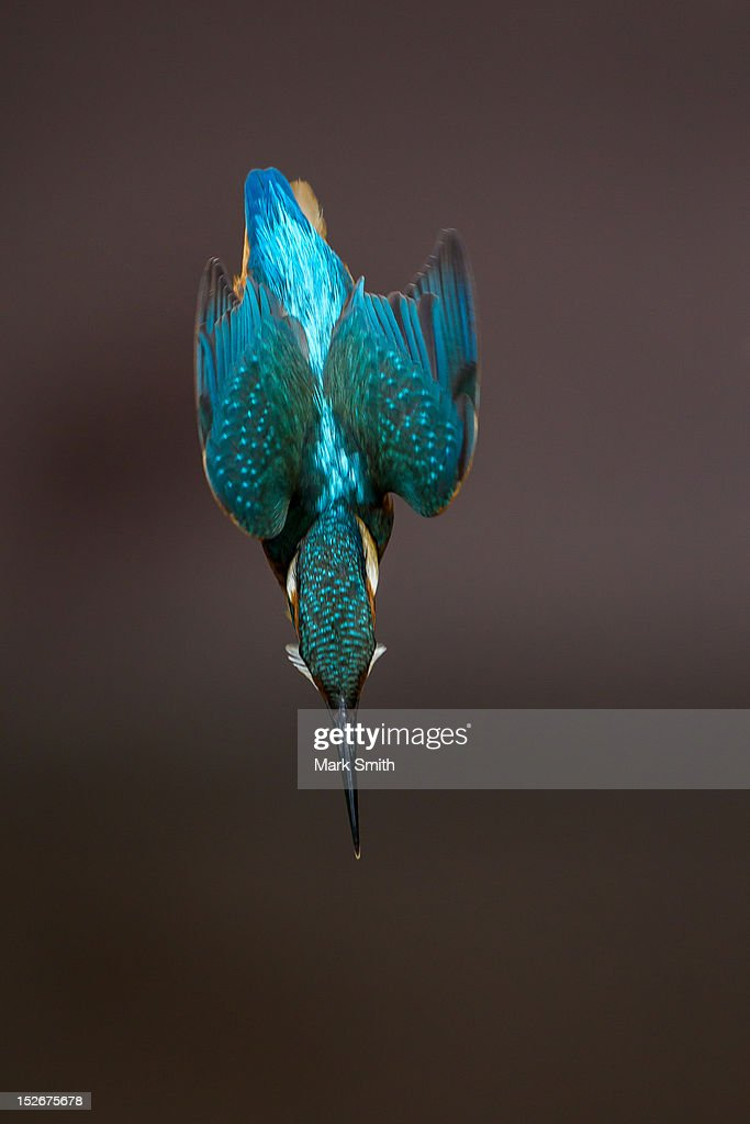Diving Alcedo atthi : Stock Photo