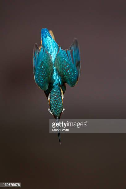 diving alcedo atthi - kingfisher stock pictures, royalty-free photos & images