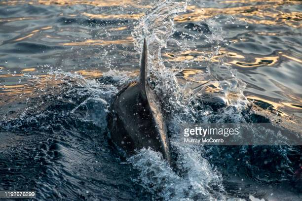 diving dophin - murray mccomb stock pictures, royalty-free photos & images