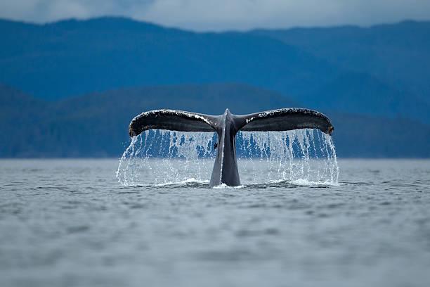 Diving Humpback Whale, Alaska