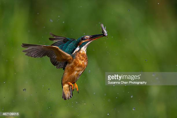 Diving kingfisher with fish