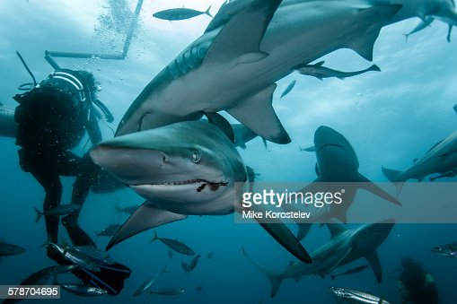 Diving with sharks