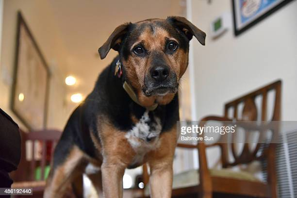 Dizzy, a Hurricane Katrina rescue dog, was adopted 10 years ago by Baltimore Sun reporter Meredith Cohn, on August 26 in Baltimore.