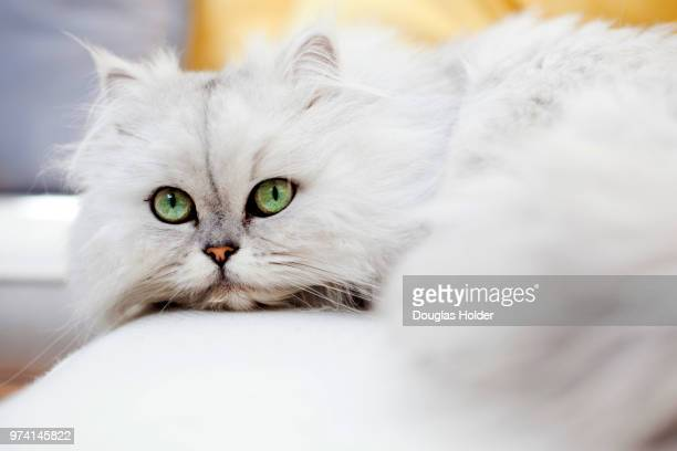 dizzy - persian cat stock pictures, royalty-free photos & images
