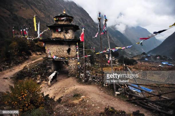 A djo (a yak/cattle hybrid) walking through a Buddhist stupa in the village of Lho, Manaslu Circuit Trek, Nepal