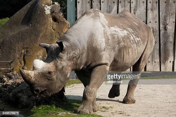 DKrefeld Rhine Lower Rhine Rhineland North RhineWestphalia NRW DKrefeldBockum zoological garden Krefeld black rhinoceros hooklipped rhinoceros...