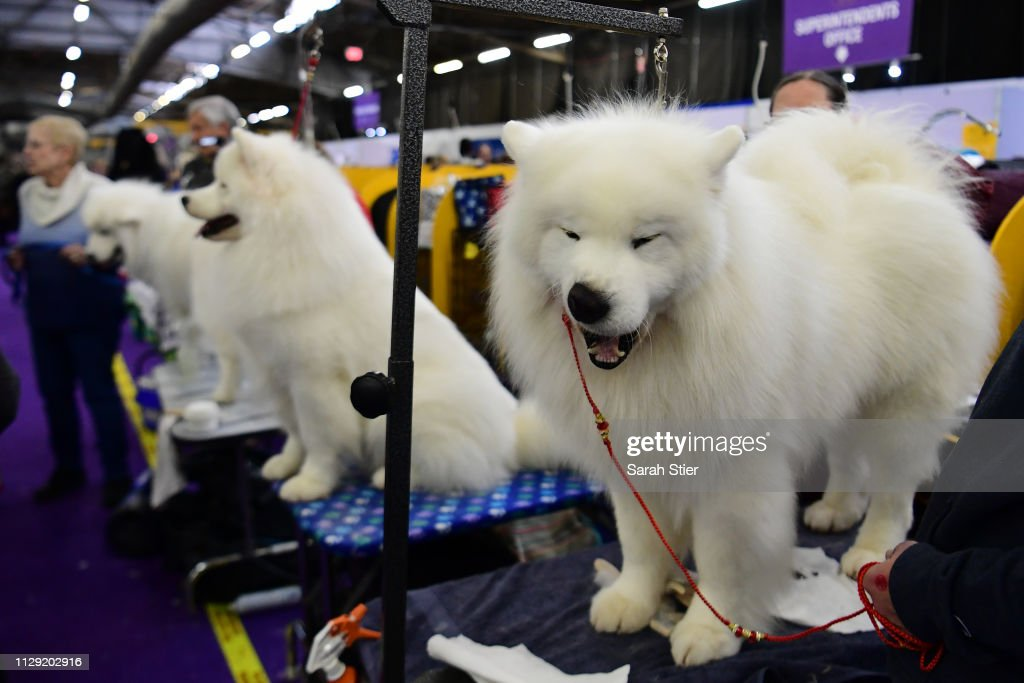 Westminster Kennel Club Hosts Its Annual Dog Show In New York : News Photo