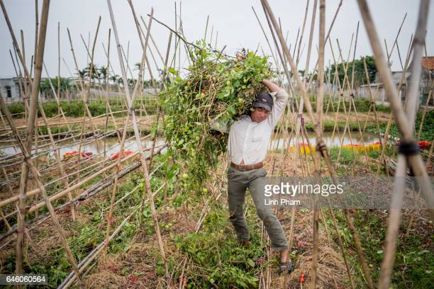 Doan Van Binh elder brother of Doan Thi Huong harvests tomatoes next to Huong's family home on February 27 2017 in Nghia Binh a village 130km from...