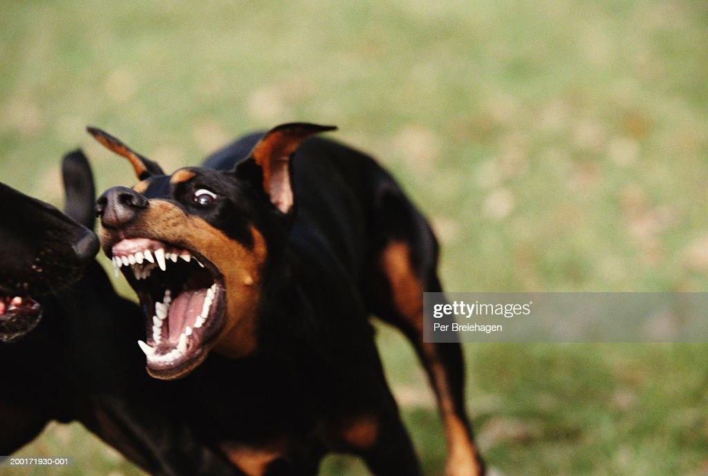 doberman attacking black labrador closeup ストックフォト getty images