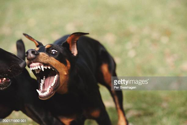 doberman attacking black labrador, close-up - aggression stock photos and pictures