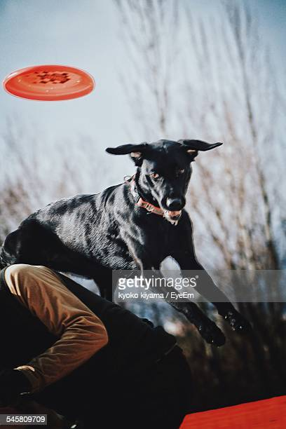 Doberman Jumping Over Man To Catch Plastic Disk