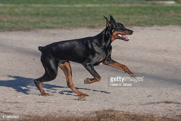 doberman on the go - doberman pinscher stock pictures, royalty-free photos & images