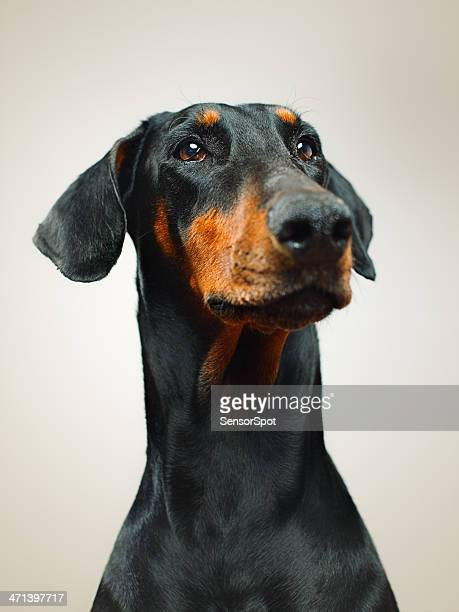 dobermann - dog cruelty stock pictures, royalty-free photos & images