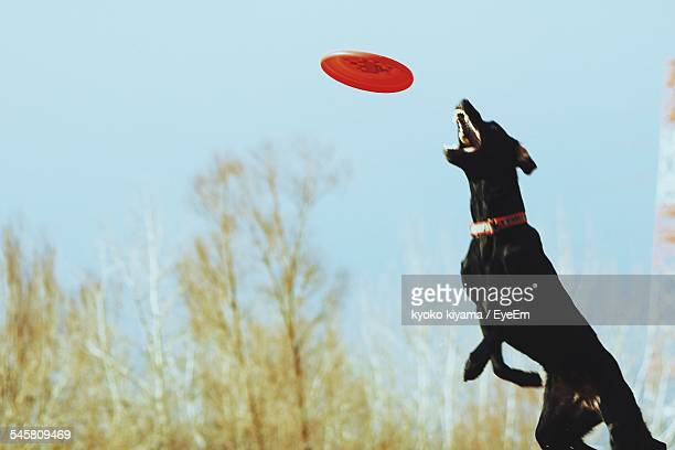 Doberman Pinscher Catching Plastic Disc