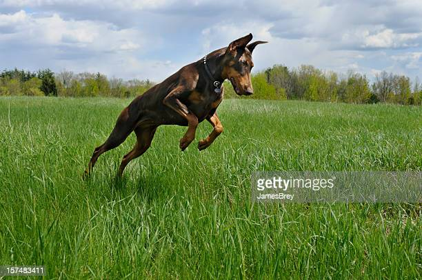 doberman pinscher dog hunting in green spring field - doberman stock pictures, royalty-free photos & images
