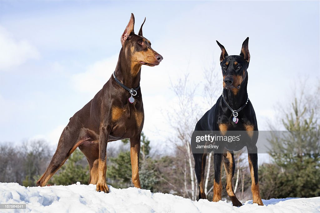 2 762 Doberman Pinscher Photos And Premium High Res Pictures Getty Images