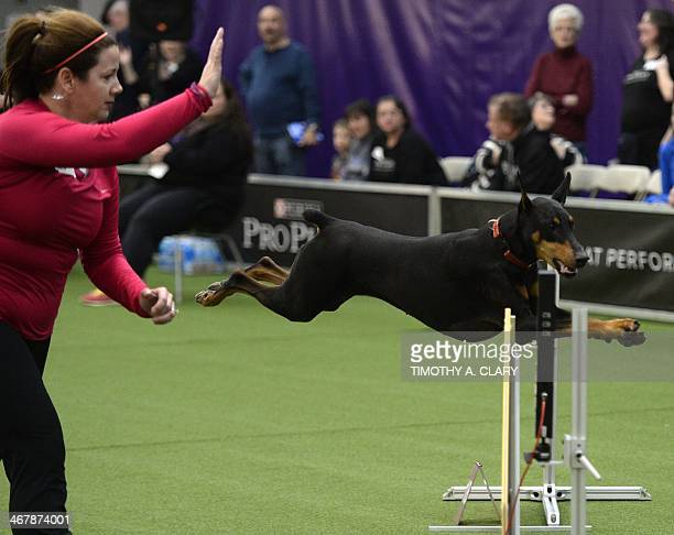 A Doberman Pinscher in the Agility Ring during the firstever Masters Agility Championship on February 7 2014 in New York at the 138th Annual...