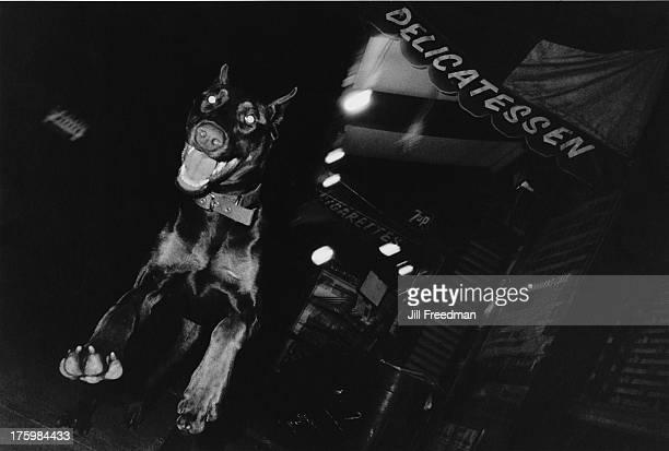 A Doberman Pinscher leaps toward the camera in Greenwich Village New York 1984