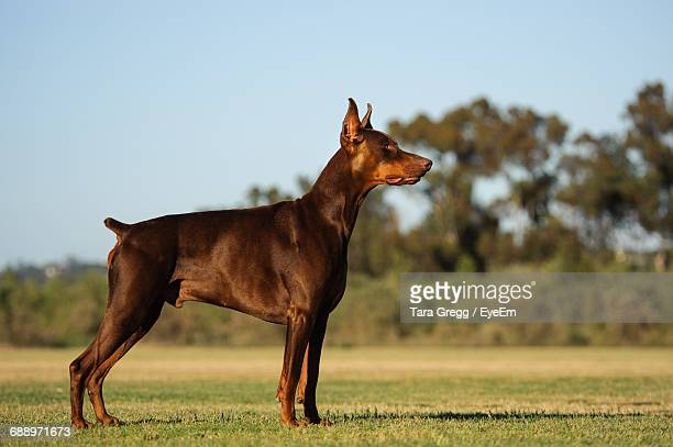 Doberman Pinscher On Grassy Field