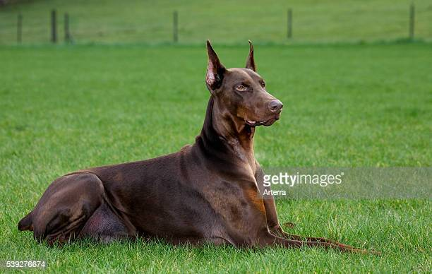 Doberman Pinscher / Pincher / Dobermann lying outside on lawn in garden.