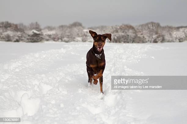 doberman pinscher running in snow - dobermann stock-fotos und bilder