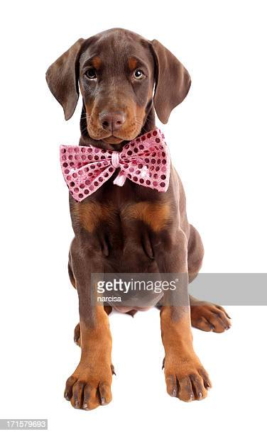 Doberman puppy with pink bow