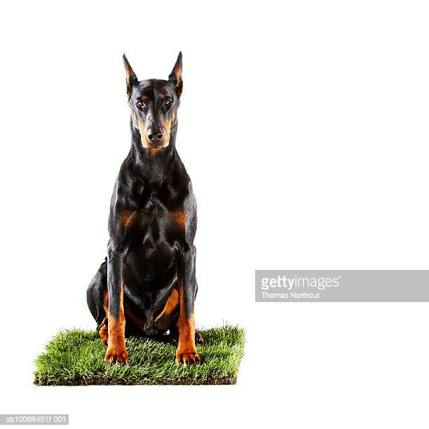 doberman sitzt auf gras mit aufnäher - dobermann stock-fotos und bilder