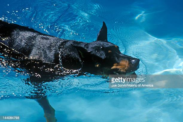 Doberman swimming in pool NJ