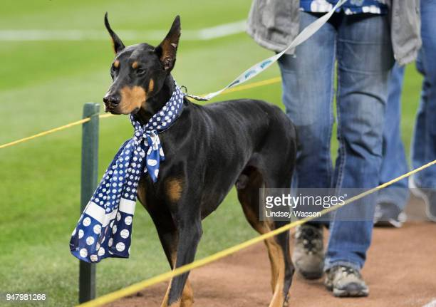 A doberman wears a baseball scarf as he walks the bases during Bark at the Park night after the game at Safeco Field on April 17 2018 in Seattle...