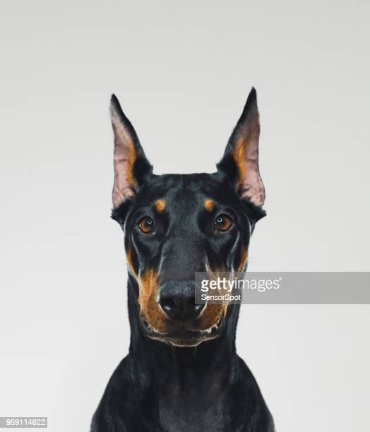 Dobermann dog portrait looking at camera